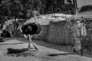 An ostrich strolls through a camp in Maiduguri