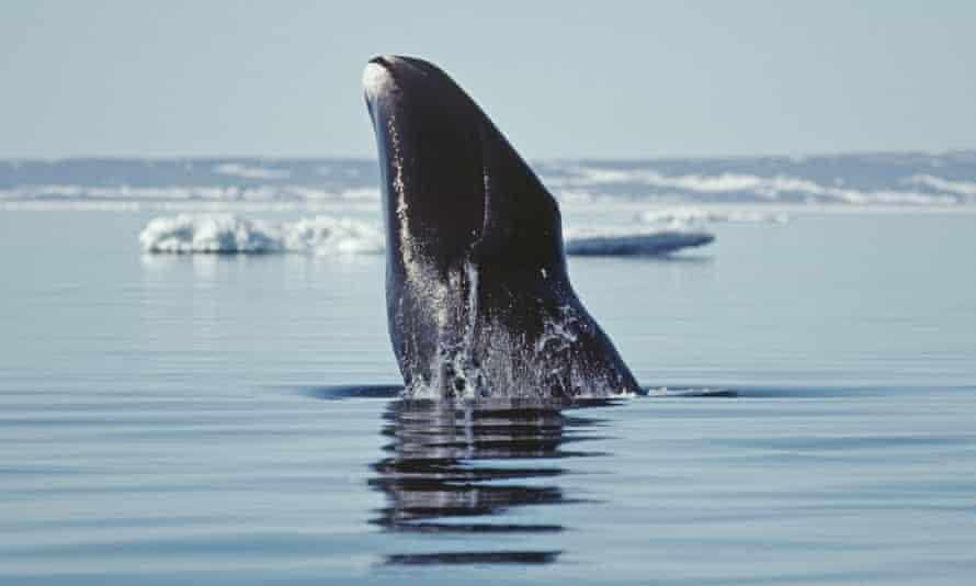 Bowhead whale in Canada's Arctic Northwest Territories.