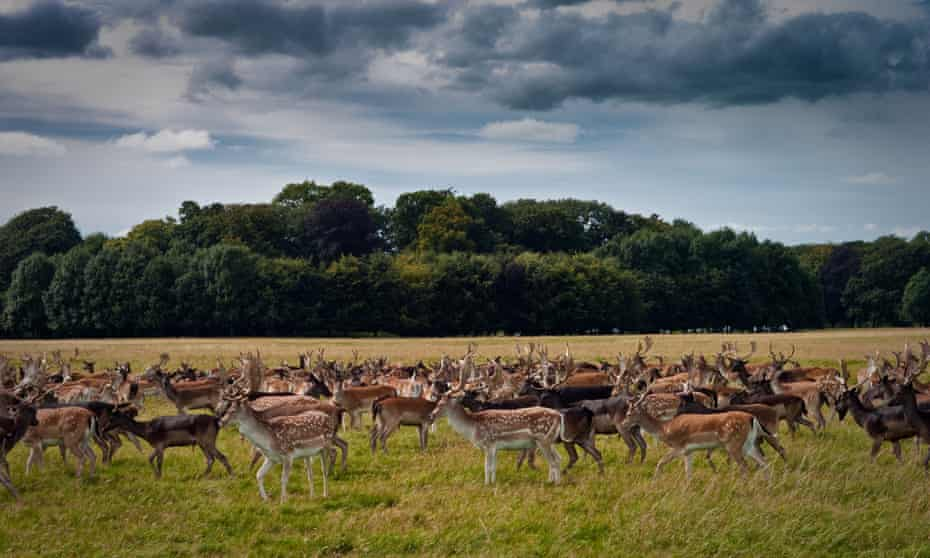 Deer in Phoenix Park, Dublin, Ireland