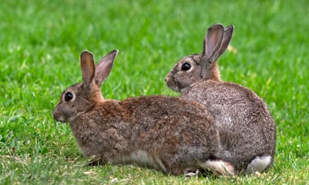 Two wild rabbits