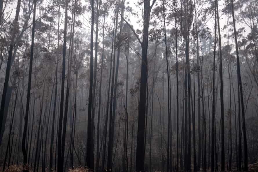 Burnt trees near Mallacoota on 15 January, 2020.