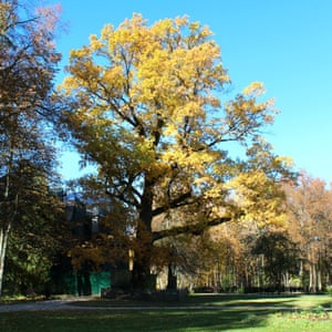 English oak (Quercus robur L), Abramtsevo selo, Russia