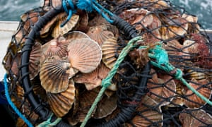 Hand-dived king scallops