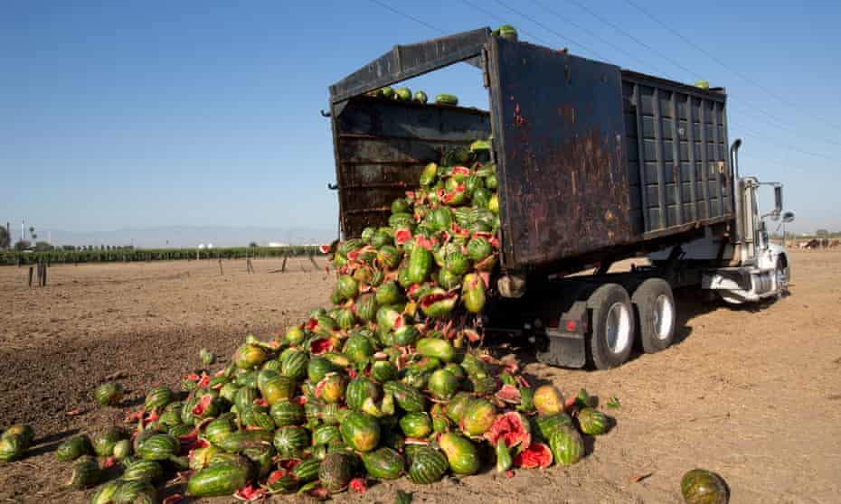 A truck load of watermelons deemed not fit for market are dumped to be used for cattle feed