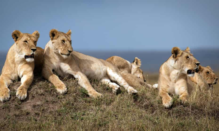 The Marsh Pride, led by Charm, are a close-knit family of mothers and their growing cubs, in a shot from the BBC One series Dynasties.