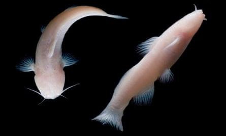 Texas eyeless catfish