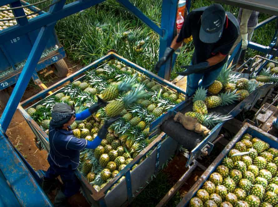 Pineapple Farm; Sarapiqui Region; Costa Rica
