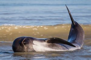 A stranded whale hits with its fluke to try to get back into deeper waters