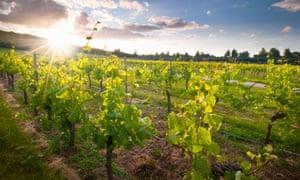 Denbies vineyard in Surrey, England.