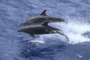 Tristan da Cunha, UK overseas territory Bottlenose dolphins in the waters of the Atlantic Ocean