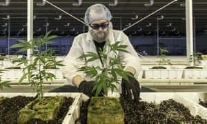 'Canada made cannabis boring': plants being tended at Aurora.