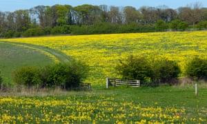 Cowslips on an organic farm in Norfolk