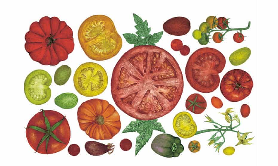 Tomatoes drawing by Lucille Clerc, from Around the World in 80 Plants.