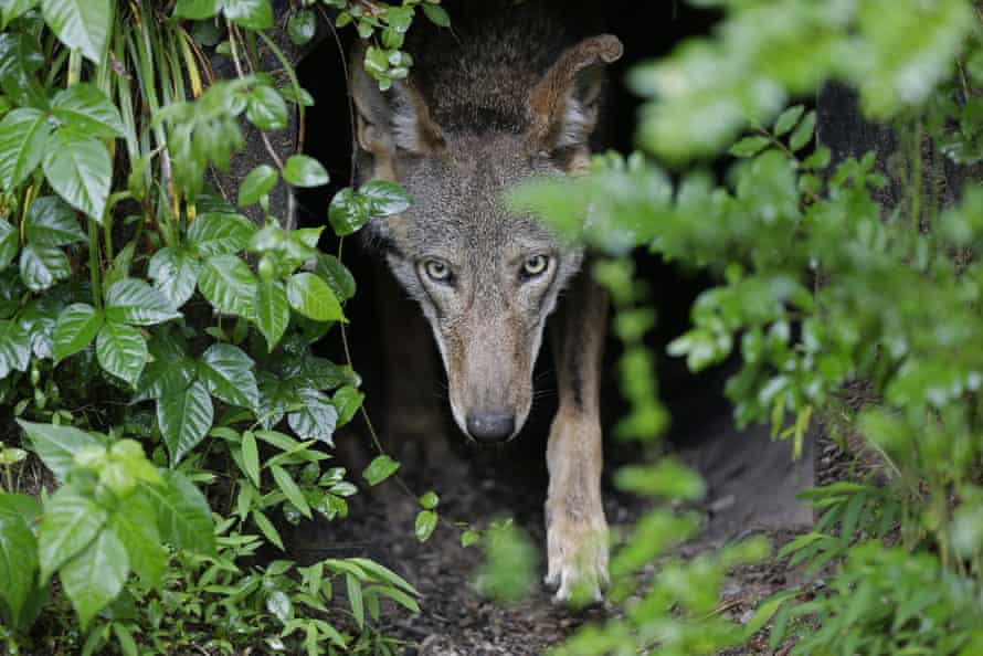 A red wolf emerges from its lair.