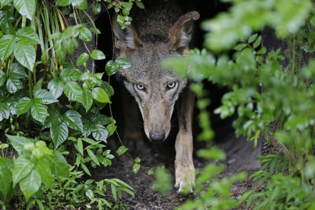 A female red wolf emerges from her den containing newborn pups at the Museum of Life and Science in Durham, North Carolina. Photograph: Gerry Broome/AP