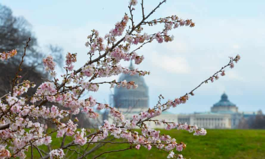 Cherry blossoms are seen on the street in Washington DC on Tuesday due to the warm weather.