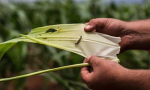 A farm owner shows the armyworm on a leaf of corn crop on a farm in Onderstepoort just north of Pretoria