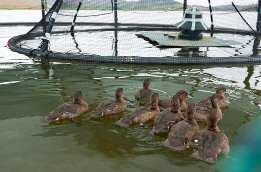 Madagascar pochard ducklings at the floating aviaries at Lake Sofia, which serve as their temporary aquatic home.