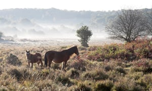 New Forest Pony and foal on heathland Howen Bottom near Fritham New Forest National Park, Hampshire, England.