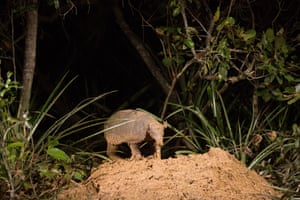 The first full colour shot of a giant armadillo at its burrow by night