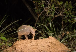 A giant armadillo at its burrow in Pantanal in Brazil. A BBC documentary, Hotel Armadillo, shows how the the giant armadillo benefits 80 other species by providing a unique lodging and dining service in the largest wetland on Earth.