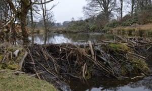 Beaver dam on tributary of river Isla, Perthshire