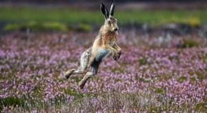 A hare runs on a moor near Ripon, North Yorkshire