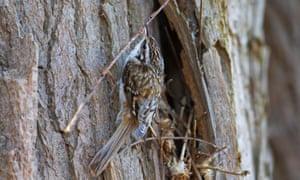 A Eurasian treecreeper climbing a tree trunk with a twig in its beak