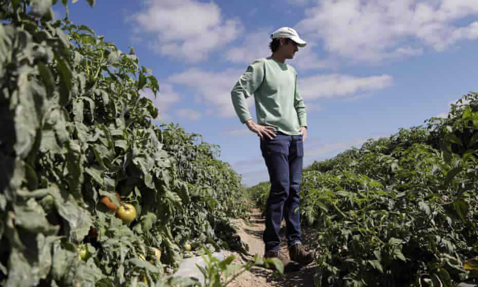 Jim Husk, farm manager, walks through a tomato field on DiMare farm in Homestead, Florida.