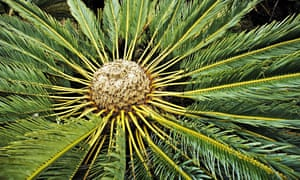 A modern cycad - a distant relative of the bennettites