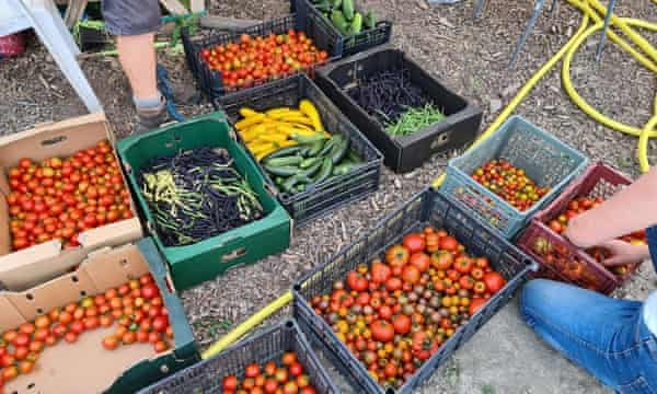Volunteers sort through the harvest, in preparation for donating it to local community food hubs in August.