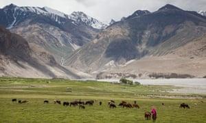A woman herds cows in Badakhshan province in north-eastern Afghanistan.