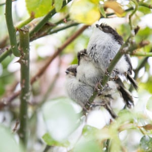 Three long-tailed tit chicks, sleep in the rose-bush branches shortly after leaving their nest