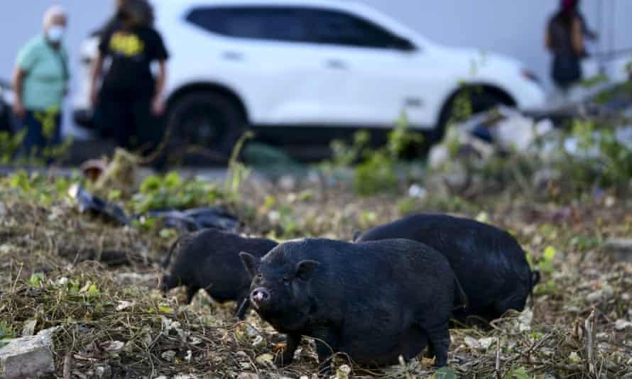 Feral Vietnamese pot-bellied pigs roam in Puerto Rico