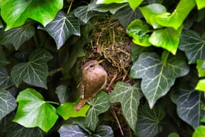 A Eurasian wren at a nest hidden in ivy