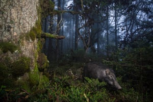 A wild boar (Sus scrofa) captured by camera trap in corridor eight in Trongsa, Bhutan.
