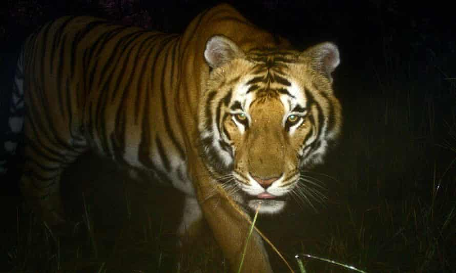 The tiger circled the tree that Gerard Van Laar had climbed for two hours before it was driven away by men with sticks.