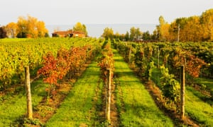Vineyard in the Waupoos area of Prince Edward County, Ontario, Canada.