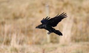 A raven in flight