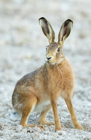 Hare on frosty ground