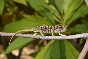 A female Voeltzkow's chameleon