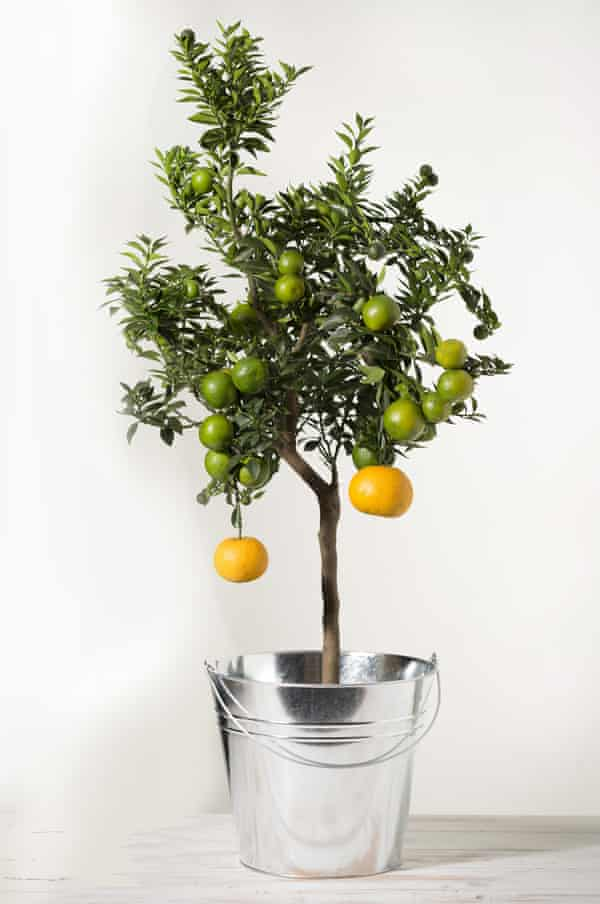 Room to grow: a Chinotto citrus plant.