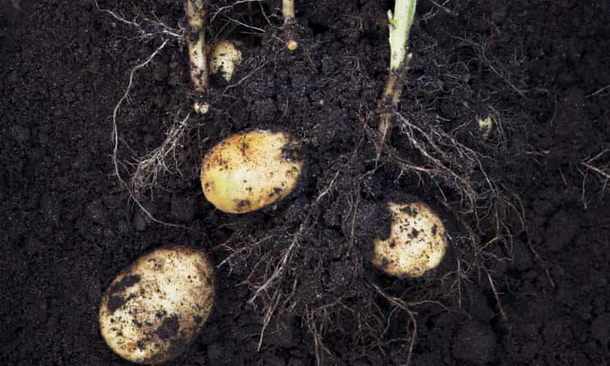 Darling spuds … mulching with extra compost through the growing season will give you smooth potatoes.