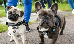 A pug and a French bulldog