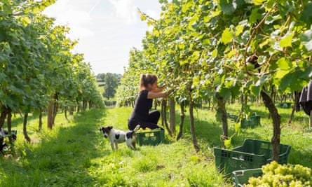 A woman harvests Bacchus grapes in an English vineyard destined for wine production.