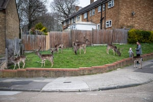 Fallow deer from Dagnam Park rest and graze on the grass at a housing estate in Harold Hill.