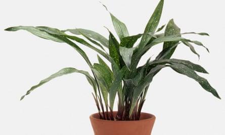 An Aspidistra elatior potted plant.