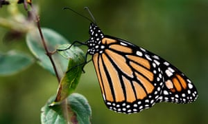 'How can an insect so small go so far?' ... a monarch butterfly. Photograph: Toby Talbot/AP