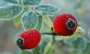 Frosty rosehips, which are rich in vitamin C.