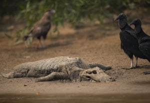 Vultures stand next to the carcass of a alligator on the banks of the Cuiaba River.